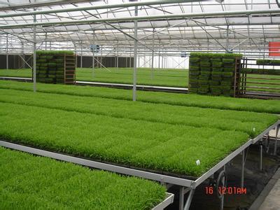 规模订单种植粳糯稻